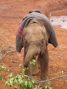 Baby elephant learning to use its trunk.  The keepers said that when elephants are young they often fall over their own trunks until they learn how to keep them out of the way.