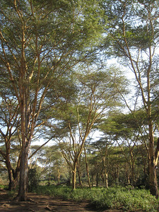 Green Crater; the bark of these trees was an olive green shade.