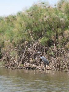 Stork, Lake Naivasha
