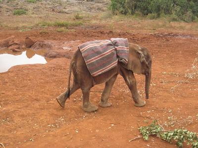 4 week old baby elephant.