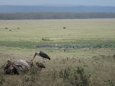 Stork and vultures feed on the remains of a buffalo.