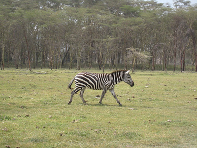 Out for a stroll in the Lake Nakuru National Park.