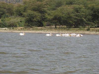 Pelicans on Lake Naivasha.