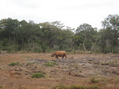 An interloper, a 14 month old rhino, thinks about joining the party.