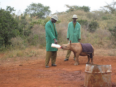 Young black rhino and his keepers.