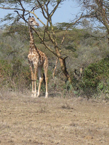 Giraffe youngster in the Green Crater.