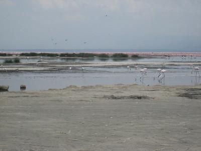 Flamingos by the acre on Lake Nakuru.