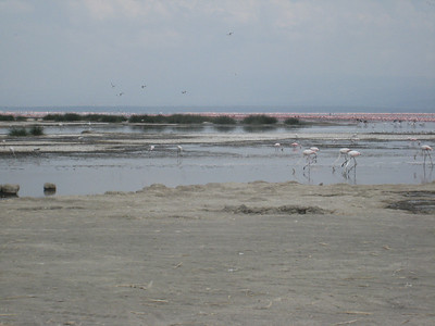 Flamingos by the acre on Lake Nakuru.