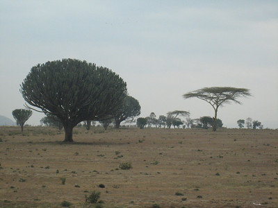 Candelabra trees in the Kenya countryside.