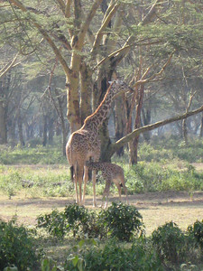 Breakfast time for a young giraffe.