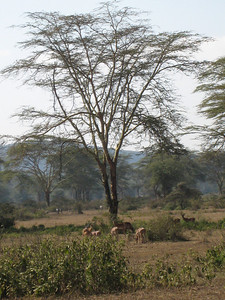 Impala enjoying a quiet morning in the Green Crater, Kenya.