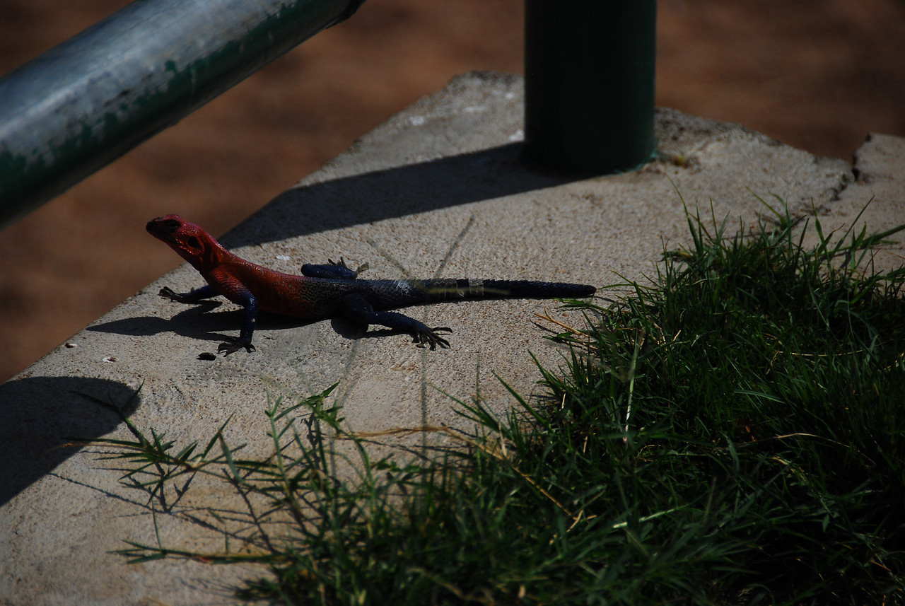 Brightly coloured lizard, red at the top and blue at the bottom.
