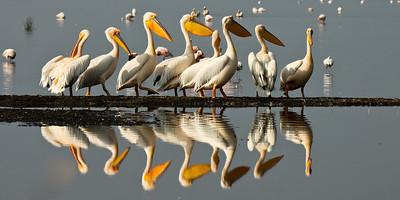 Kenya, Great White Pelican, Pelecanus onocrotalus, birds, Lake Nakuru, Nakuru , africa , nature