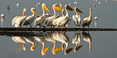 Kenya, Great White Pelican, Pelecanus onocrotalus, birds, Lake Nakuru, Nakuru , africa , nature