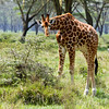Kenya, Lake Nakuru, Nakuru , africa , nature
