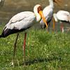 Kenya, birds, Lake Nakuru, Nakuru , africa , nature