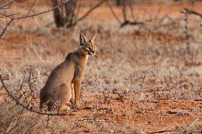 Kenya, felis caracal, caracal, caracals, cat, cats, big cats, Samburu National Reserve, samburu , africa , nature