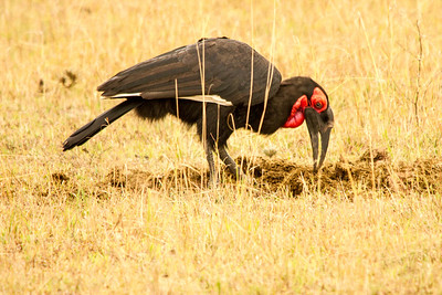 Southern Ground Hornbill picks through dung for insects and worms, Kenya