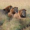 Three lions resting
