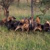 Hyenas moving in