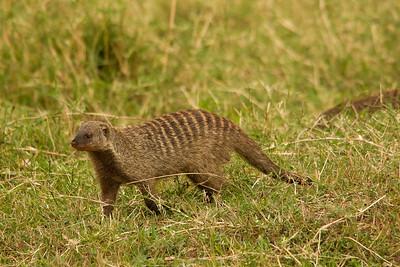 Banded mongoose, Kenya