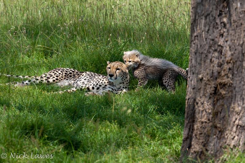 Cheetah playtime