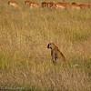 Leopard scoping out breakfast