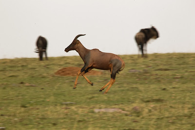 Topi at full gallop, 4 hooves off the ground