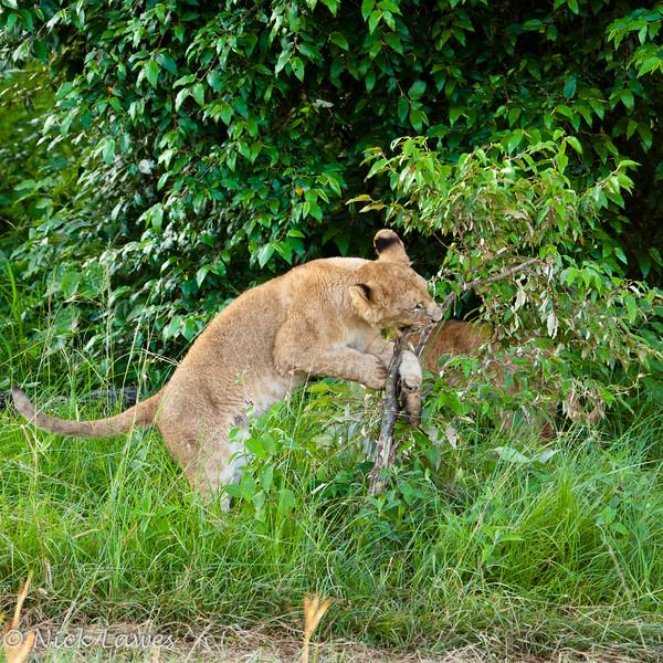 Lion cub attacks a branch