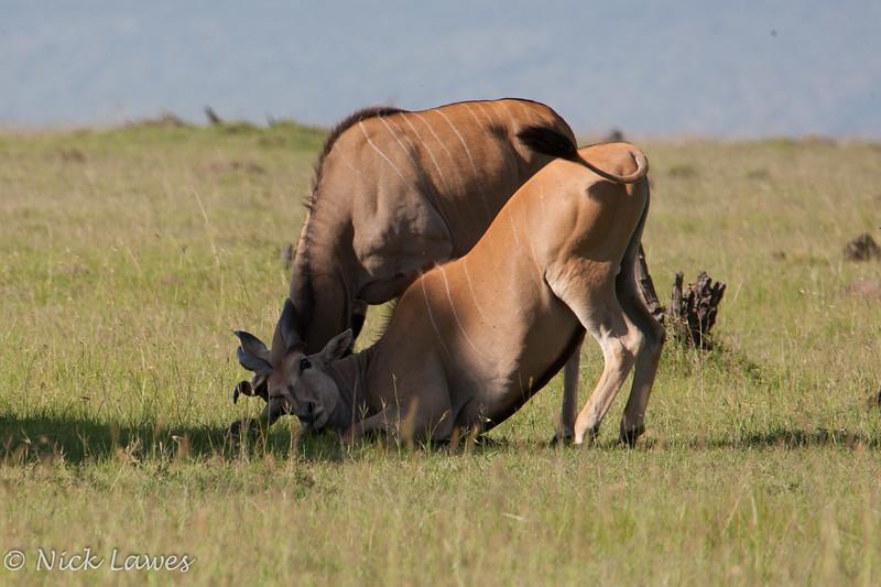 Eland fighting