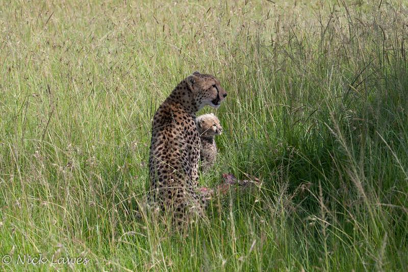 Cheetah watching the watchers