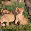 Lions having breakfast