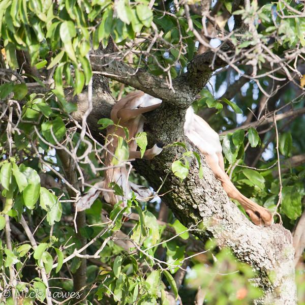 Dead impala in a tree