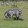 Zebra ankle biters