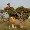 Giraffe hiding