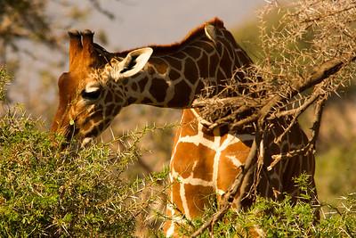 Giraffe browsing the acacia.  Their tongue evolved to relish thorns.