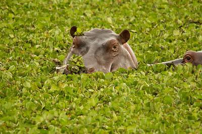 Hippo resting in lettuce lake, Kenya