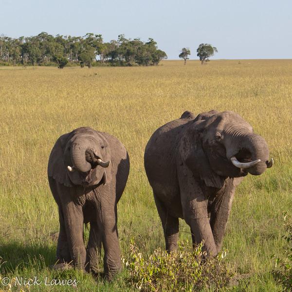 Elephant