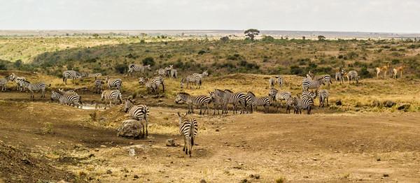 Zebra and Hartebeest