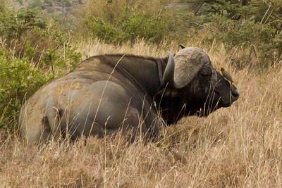 Cape Buffalo with Yellow Bellied Oxpicker