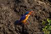 Malachite Kingfisher Eating a Frog