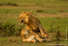 Male and Female African Lion Mating