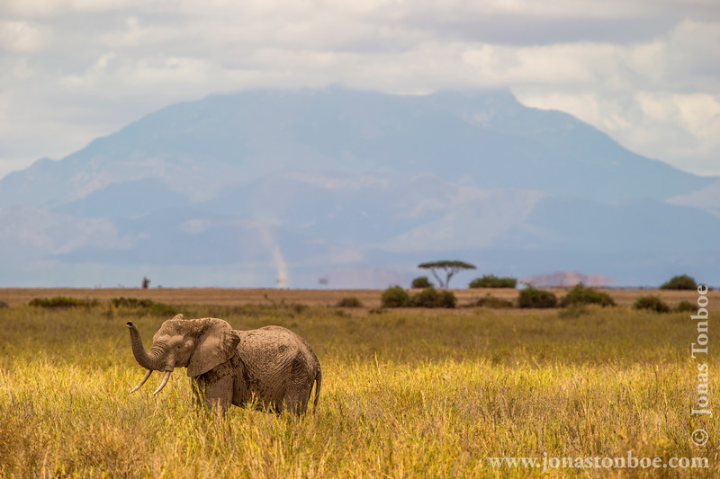 African Elephant in Front of Mount Kilimanjaro