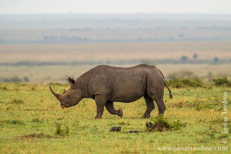 Male Black Rhinoceros