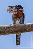Giant Kingfisher With a Fish