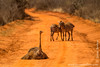 Masai Ostrich and Burchell's Zebra aka Plains Zebra