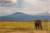 African Bush Elephant in Front of Kilimanjaro