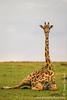 Masai Giraffe aka Kilimanjaro Giraffe