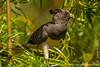Female White-bellied Go-away-bird