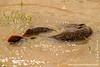 Catfish Mating